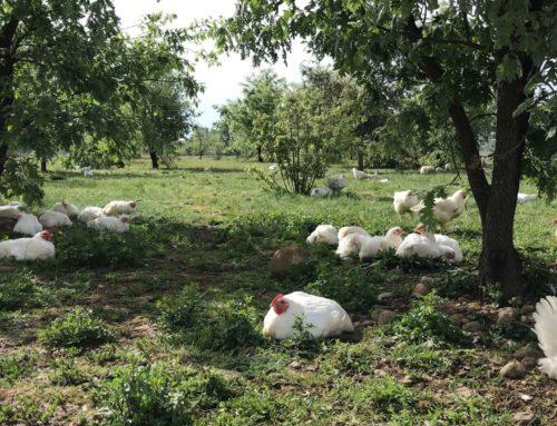 ¡Último reparto de pollos agroecológicos del curso!